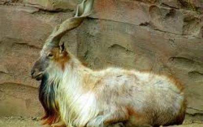 Injured Markhor dies in custody of Chitral Wildlife Department