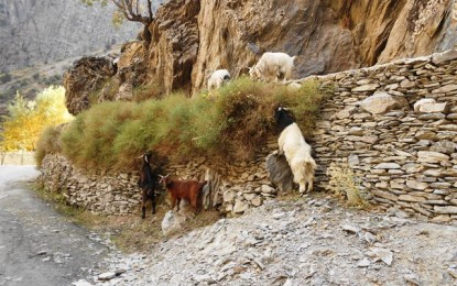 More than 40 goats killed by fire in Kalash Valley