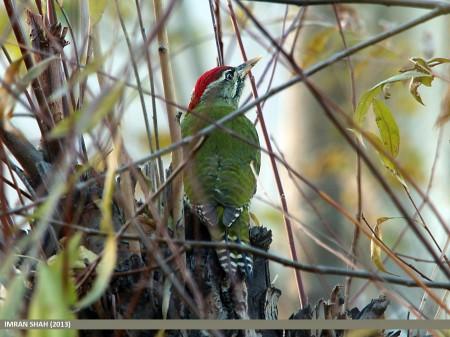 Male Scaly-bellied Woodpecker (Picus squamatus), Aliabad, Hunza