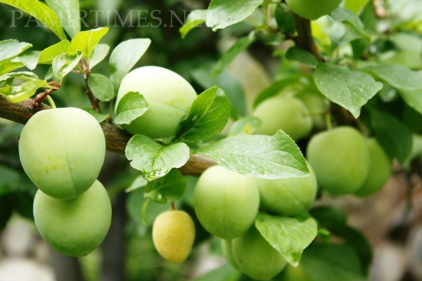 Fruits in Gilgit-Baltistan are currently being produced in the traditional way. The yield is comparatively low