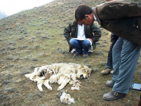 Locals looking at the dead  body of a wolf in the Qaqlasht area