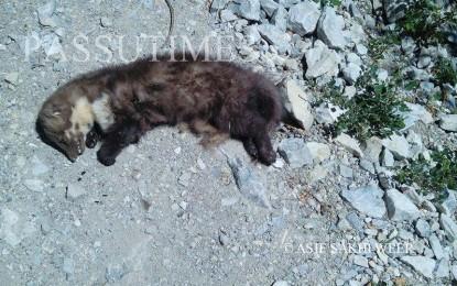 Unidentified animal found dead near Passu, Gojal