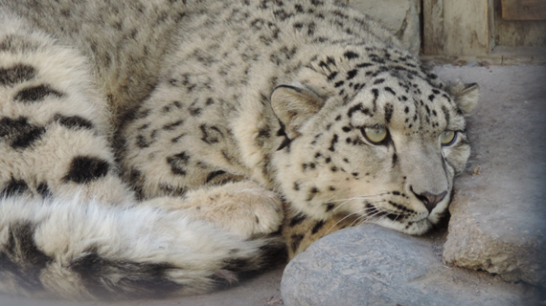 The snow leopard has spent two years in a cage by the side of a road