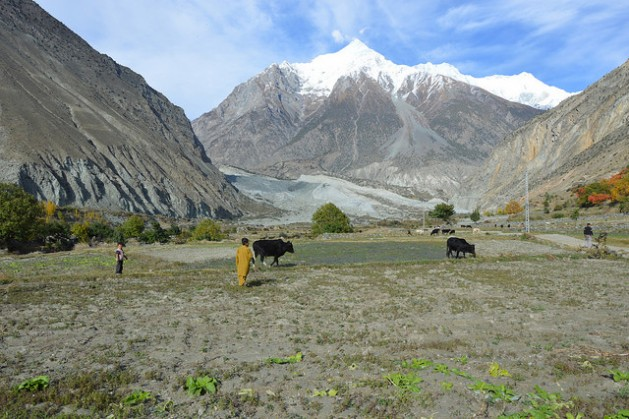 A boy grazes his cattle on farmland close to the site of a landslide in northern Pakistan's Bagrot valley. Credit: Saleem Shaikh/IPS