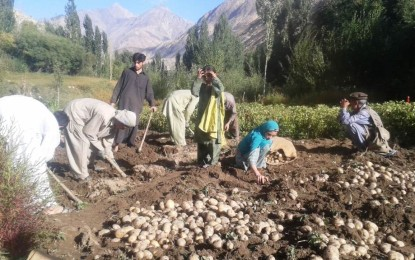 Pakistan confronts the curse of potato success