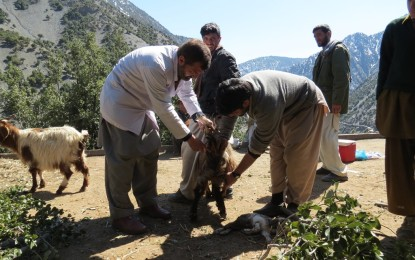 Chitral: Lice infestation behind livestock diseases in Kalash Valley, say officials