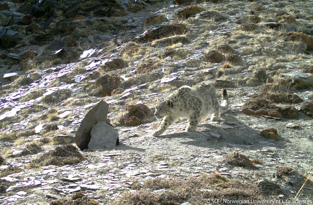 Snow Leopard is one of the rare animals found in the KNP
