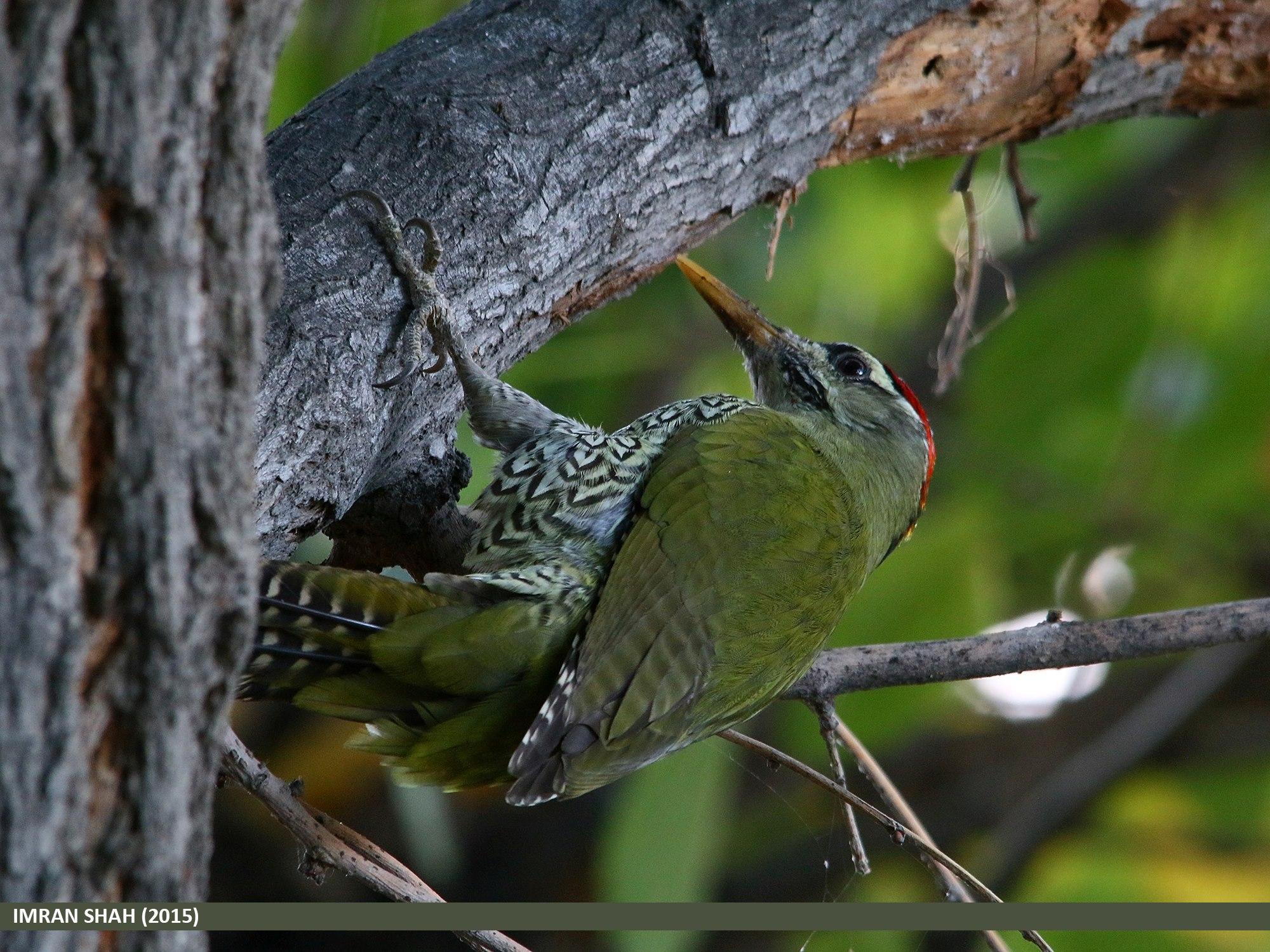 Scaly-bellied Woodpecker (Picus squamatus) captured at Jutial, Gilgit, Gilgit-Baltistan, Pakistan