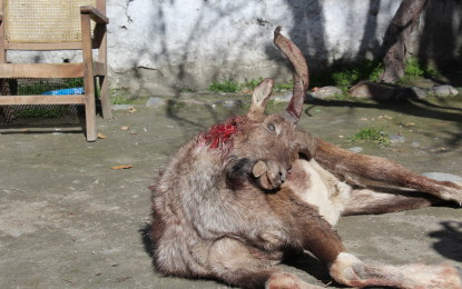 Rare Markhor illegally hunted in Gahirat Conservancy area of Chitral