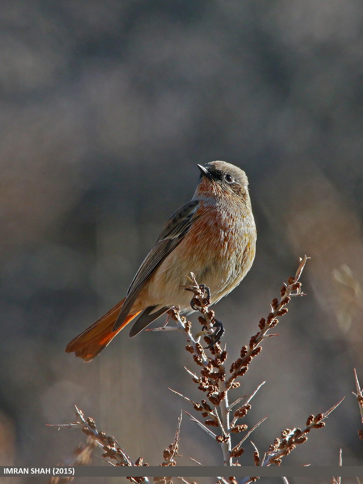 Rufous-backed Redstart (Phoenicurus erythronotus) captured at Borit, Gojal, Gilgit-Baltistan, Pakistan