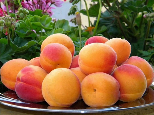 GB – Pakistan's largest apricot producing region
