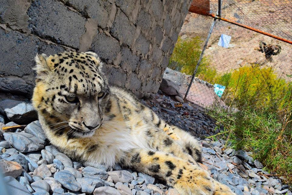 Of the caged snow leopard