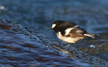 15 of the birds found in Gilgit-Baltistan