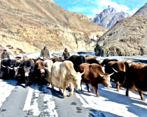 Return of Yaks, the mountain kings