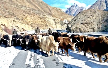 Return of Yaks, the mountain kings