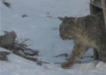 Captured snow leopard freed in Khunjerav National Park