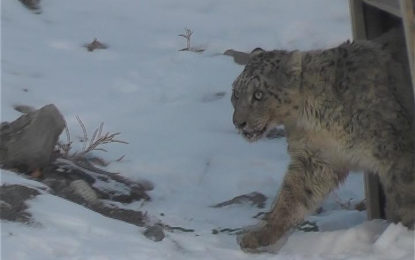 Captured snow leopard freed in Khunjerav National Park