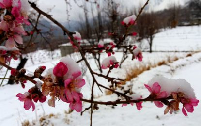 Snow-Blossom in Hunza Valley Asghar Khan