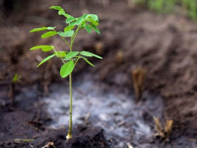 1.2 million saplings will be planted across Gilgit-Baltistan, Minister Forest