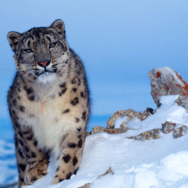 USD 4.5mn allocated for snow leopard protection in Gilgit-Baltistan