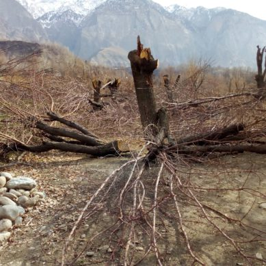 Thousands of trees chopped down by WAPDA contractor in Chitral