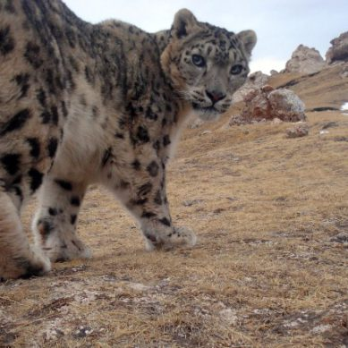 'Snow Leopard and Ecosystem Protection Program' launched
