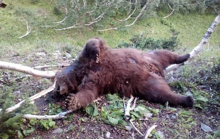 Two imprisoned for poisoning Brown Bear to death in Minimarg, Astore